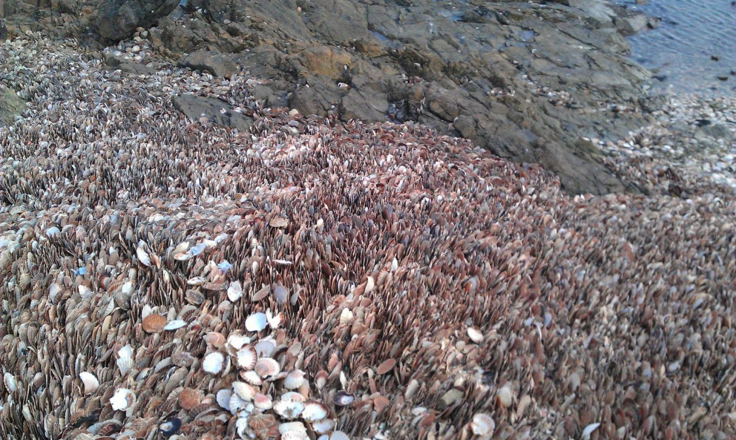 Spring Break in Brittany, scallop shells