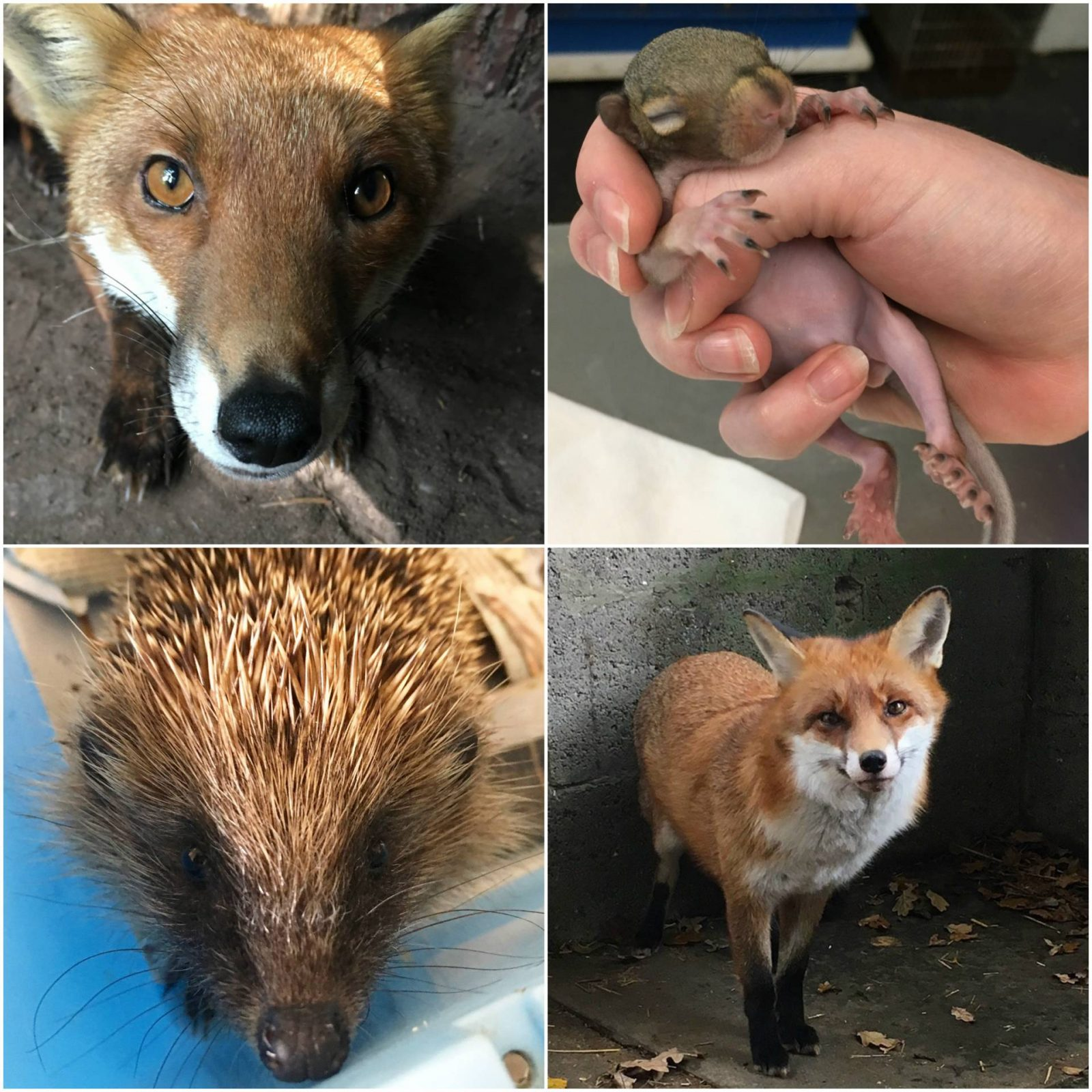 Highlights of 2017 and Plans for 2018 foxes, young squirrel, hedgehog