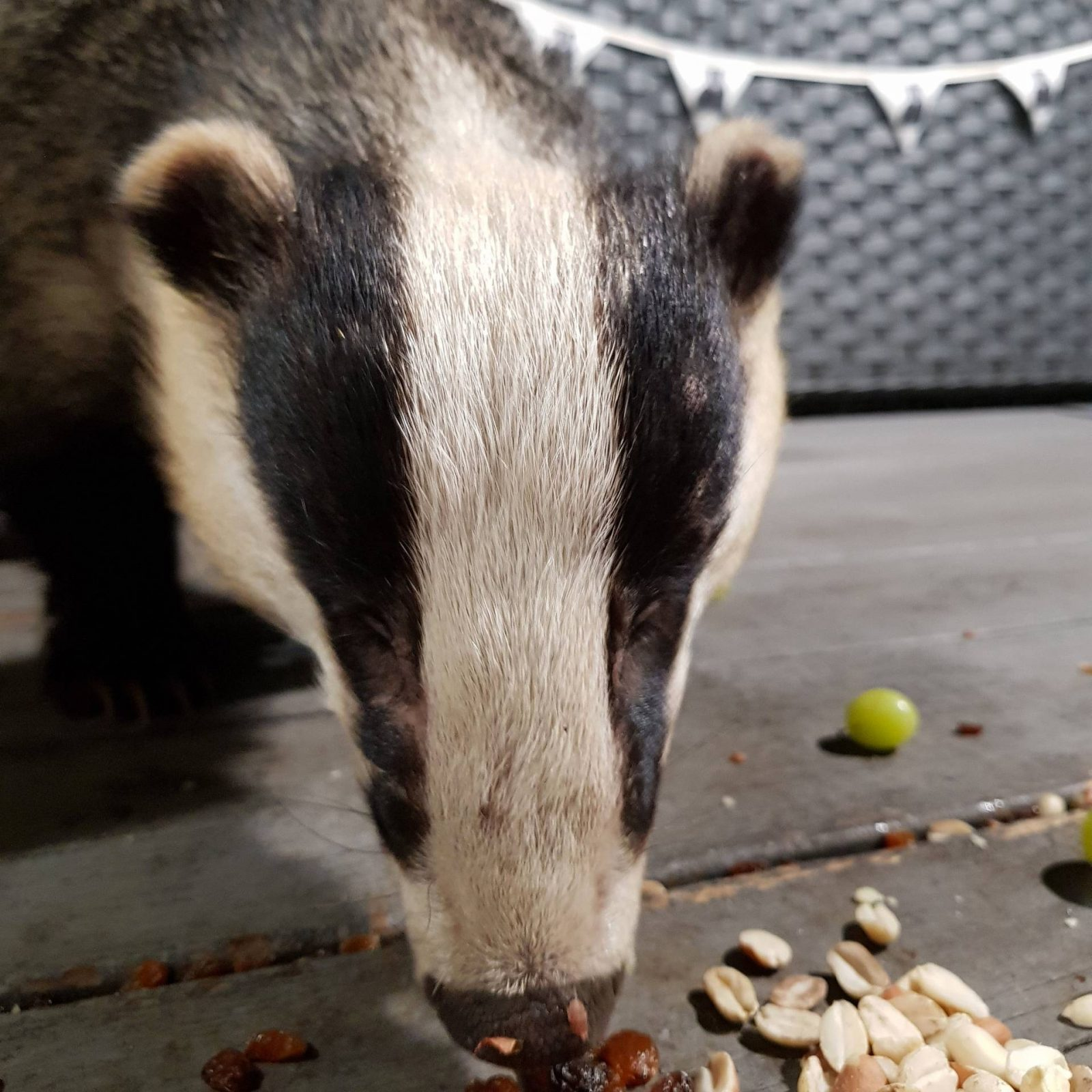 Mr Lumpy, badger eating nuts
