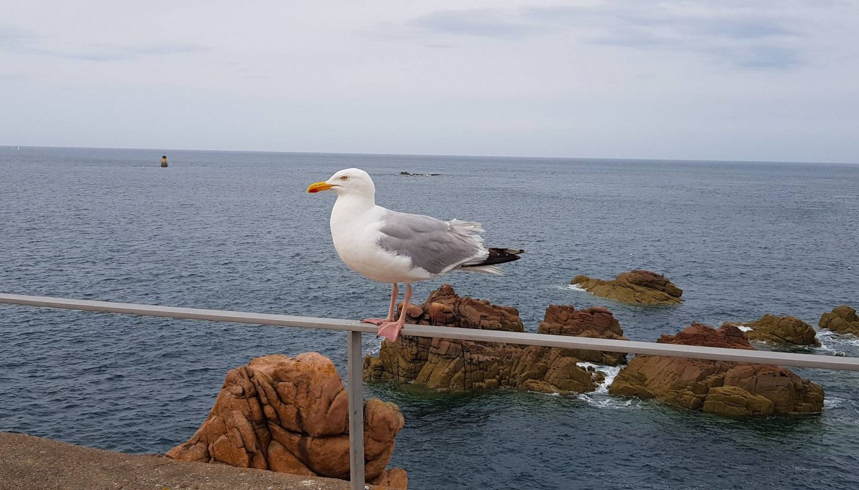 seagull Paon lighthouse, Île-de-Bréhat